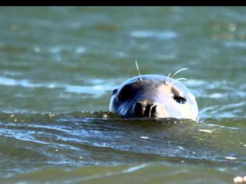 Holy Island seals