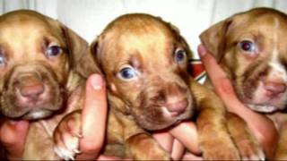 Gr ch Mayday ROM, HOLLINGSWORTH DOGS , ( TheRealPitBull com) Videos