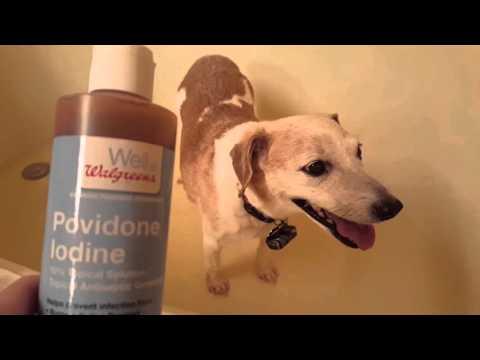 Gingy gets a povidone-iodine paw soak