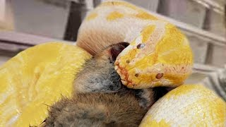MEGA SNAKES FEED! GNARLY SNAKE BITE TO THE FACE! Brian Barczyk