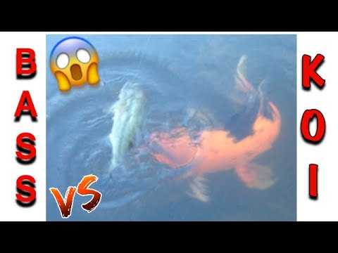 Large Mouth Bass  vs Giant Koi