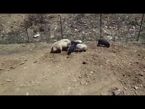 Pot Bellied Pigs pt 2