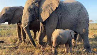 Khanyisa back with the Jabulani Herd after being unwell