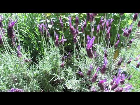 Before and After: Lavender Transplants and Mature Plants - The Rusted Garden 2013