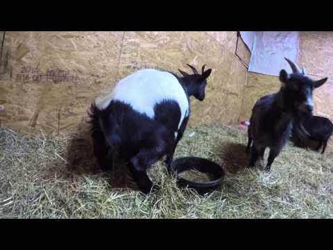 Gopro: How to tell if your goat is in labor