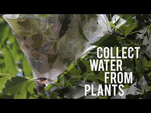 How to Collect Clean, Drinkable Water from Plants