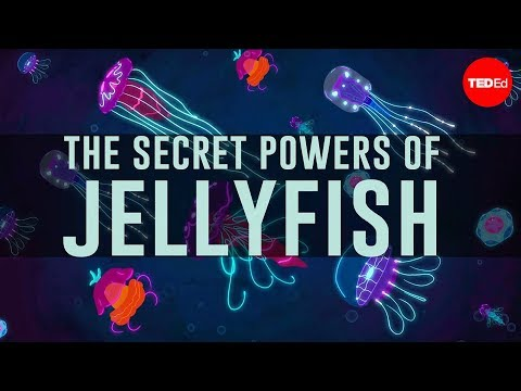 Jellyfish predate dinosaurs. How have they survived so long? - David Gruber