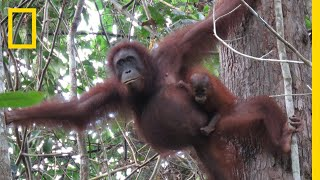 Nearly 150,000 Orangutans Lost to Logging, Palm Oil, and Human Conflict | National Geographic