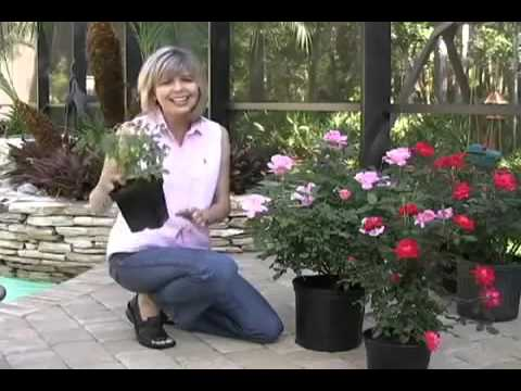 Knock Out® Roses - Fast-Growing-Trees.com