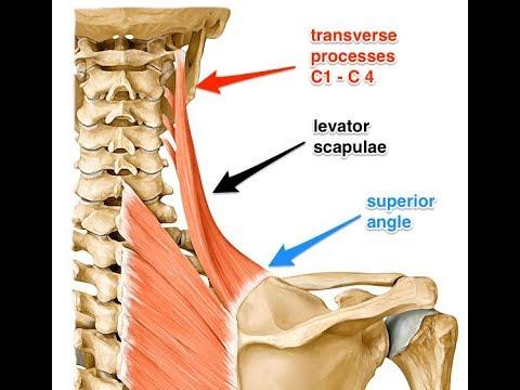 Levator scapulae exercise