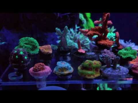 Coral growth fragging & sell.