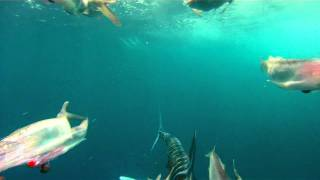 Tuna & a white marlin attacking the dredge on the PUMPIN HARD