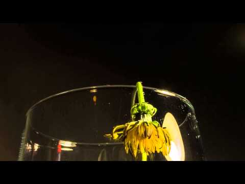 Time lapse flower wilting