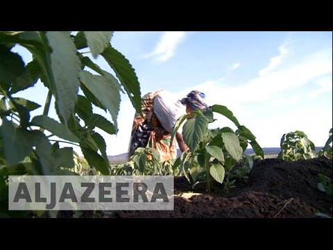 Chia seeds now a booming business in Uganda