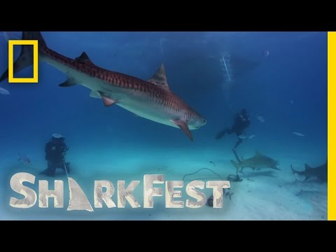 Tiger Shark Attack | SharkFest