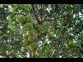 Phát hiện cây bưởi chùm, không hạt và ra quả quanh năm_Kéo Original Lowe 11.104