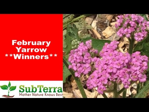 Yarrow (Achillea Millefolium) February Drawing Winners