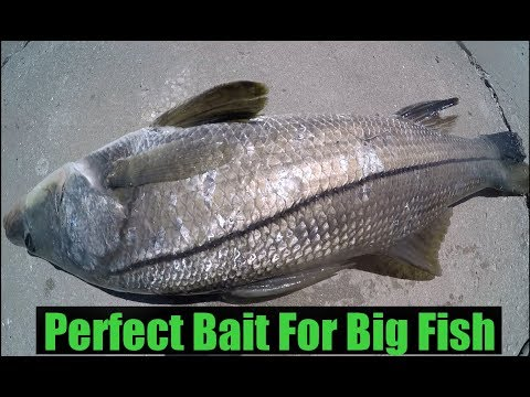 Perfect Bait For Big Fish Like Snook Grouper Jack Crevalle