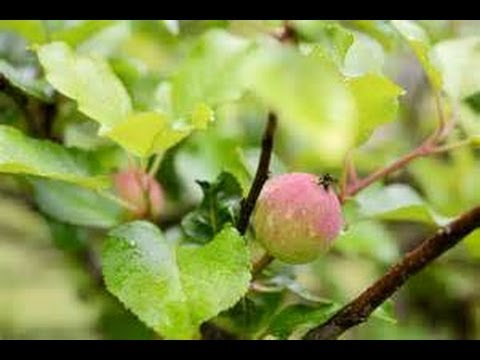 Apples can grow in Houston!
