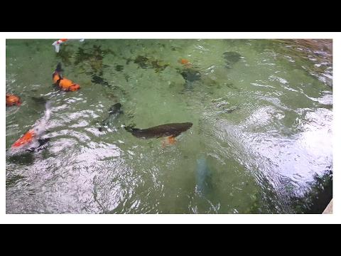 KOI UPDATE + Green Arowana Joined Koi Pond!