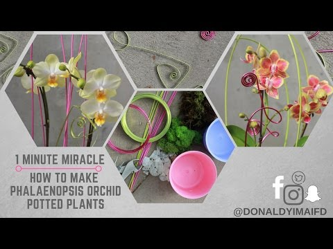 1 Minute Miracle - How to make phalaenopsis orchid potted plant