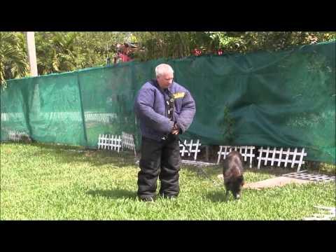 fear biting aggressive border collie