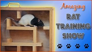 Amazing Rat Training Show!