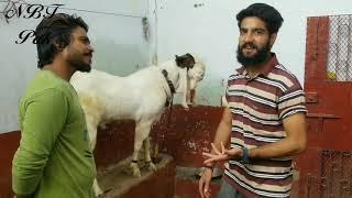 kamori goat Videos - ytube tv
