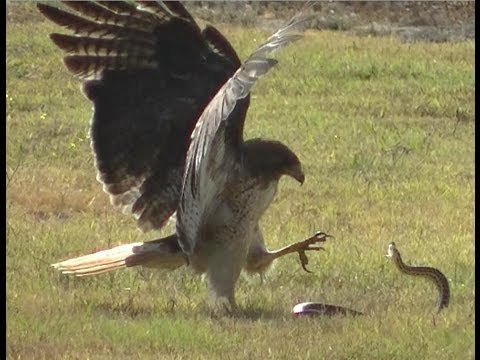 Red-Tailed Hawk vs Snake