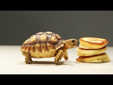 Tortoises Try Tiny Pancakes