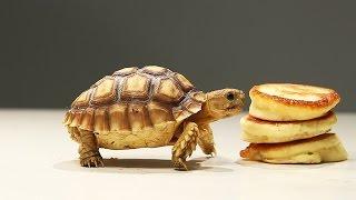 Tortoises Try Tiny Pancakes
