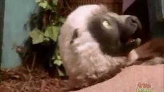 Zaboo's Super Ticklish Lemur Feet!