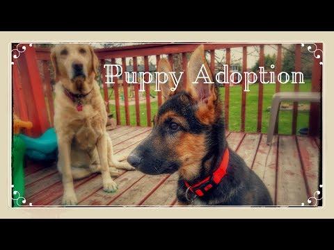 German Shepherd Puppy Adoption From Rescue Organization   Memories