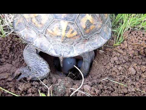 Box Turtle Laying Eggs