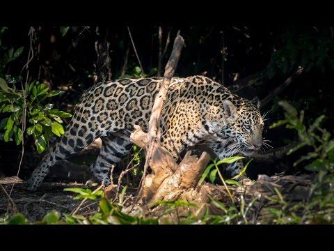 Brazil Pantanal & Amazon Wildlife Safari