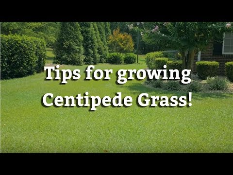Growing Centipede Grass - Warm Season Turf Tips
