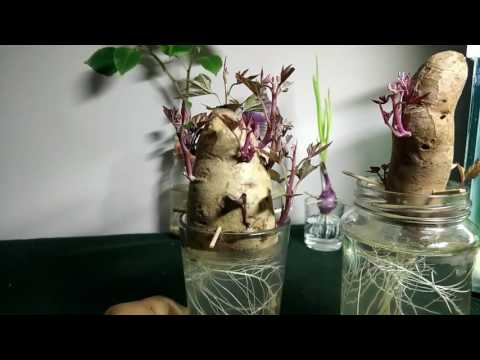 Project, Growing sweet potatoes in containers, water, jars