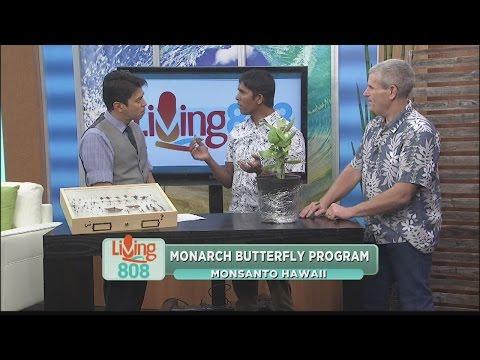 Monsanto Hawaii Monarch Butterfly Program