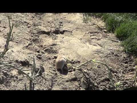 Non Wild Field Mouse