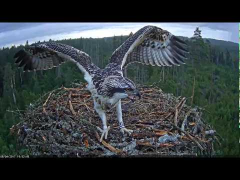 The young osprey is learning to catch her prey. / Estonian Osprey nest