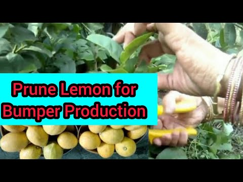 How to prune lemon tree affected by worms // Apply neem oil for further protection in(Hindi & Urdu)