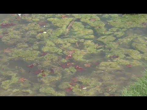 Algae blooms turning Hoyt Lake green