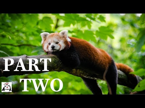 Playful Red Pandas Being Scared and Jumping Compilation
