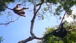 Ugandan chimps hunting | Life of Mammals | BBC