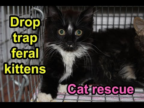 Catch feral kittens with a drop trap (TNR; rescue)