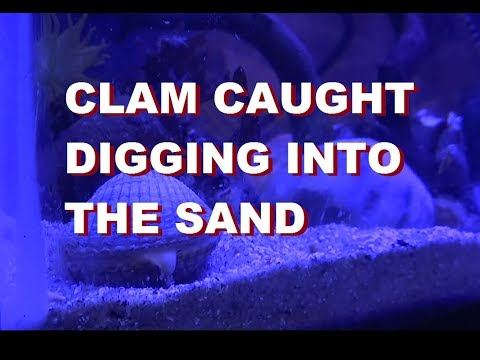 clam digs into the sand HD
