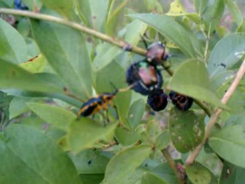 Bugs and Blueberries