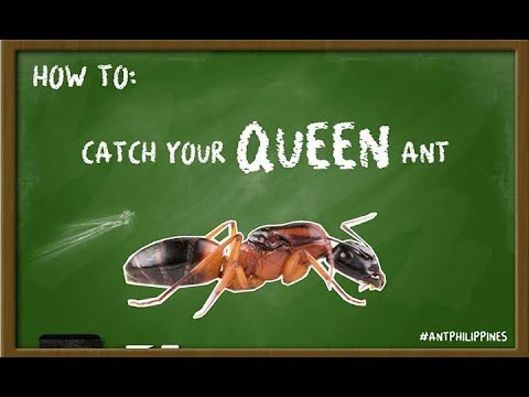 HOW TO CATCH QUEEN ANT | ANT PHILIPPINES