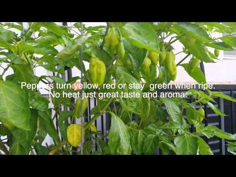 Trinidad Pimento (Primento) Peppers