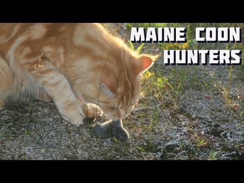 Maine Coon Cat Video - The Chase of an Unwelcome Guest - Maine Coon vs Mouse